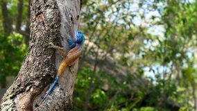 Tree Agama - acanthocerus atricollis. Tree agama on tree branch - agama acanthocerus atricollis. Very large, body plump, covered in spiny scales. Breeding male stock image