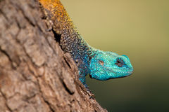 Tree agama close up. A close up of a very colourful tree agama Royalty Free Stock Images