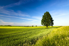 Tree in the agricultural field Stock Image