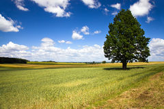 Tree in the agricultural field Stock Images