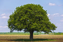 Tree on an agricultural field Royalty Free Stock Photography