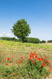 Tree in agricultural landscape Royalty Free Stock Photo