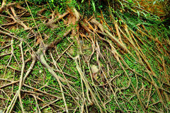 Tree air root Stock Images