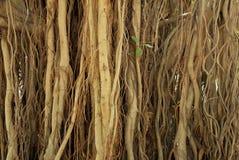 Tree air root