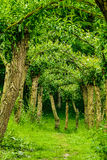 Tree Allee Royalty Free Stock Image