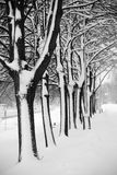 Tree Alley in winter Stock Image