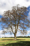 Tree Alone. Beech Tree alone in a field at the start of winter Stock Photo