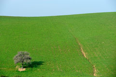 Tree alone in the country field. With sky background Royalty Free Stock Image