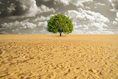 Tree alone in desert. A green tree alone in sand desert Stock Image