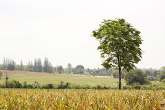 Tree alone in the farm Royalty Free Stock Photography