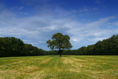Tree alone in field. Single tree alone in a green field, with blue sky Royalty Free Stock Images