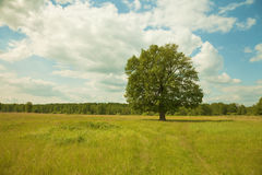 Tree alone growing in field - oak Royalty Free Stock Photography