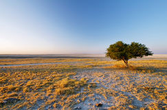 Tree alone at Kubu island in winter Stock Images