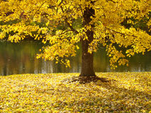 Tree Along River in Fall Royalty Free Stock Photo