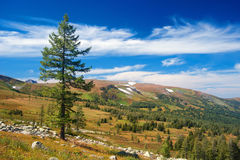Tree on Altay. Along tree in the mountains of Altay Royalty Free Stock Images