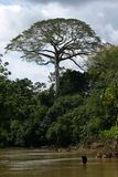 Tree in Amazonia. Trees on the river bank, Oriente, Equador (Amazonia Royalty Free Stock Photo