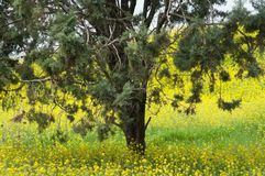A tree amidst  yellow flowers Royalty Free Stock Photography