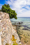 Tree on the ancient wall on the seaside. Fig tree on the wall of ancient city in Bulgaria on the rocky seaside Royalty Free Stock Image