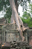 Tree on ancient walls, Cambodja Stock Photography