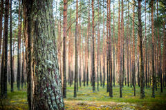 Free Tree And Blur Forest Royalty Free Stock Image - 86051436