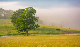 Tree And Cattle In A Farm Field On A Foggy Morning In The Rural Royalty Free Stock Images