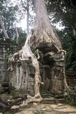 Tree in Angkor Wat, Cambodia Royalty Free Stock Photography