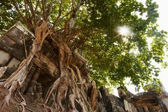 Tree on Angkorian temple Royalty Free Stock Images