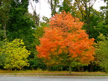 Tree announces the start of Fall. Tree changes color to announce the Fall season royalty free stock images