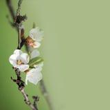 Tree apple Stock Image