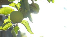 The tree apple sunlight green morning agriculture garden slow motion video. Tree apple sunlight green morning agriculture garden slow motion video stock footage