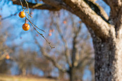 Tree with apples in an orchard Royalty Free Stock Photo
