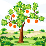 Tree with apricots Stock Photos