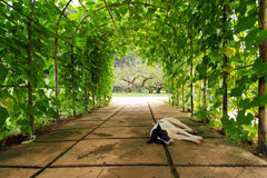 Tree arch with sleeping dog in the foreground in Chiangmai city Thailand. View of tree arch with sleeping dog in the foreground in Chiangmai city Thailand Royalty Free Stock Photography