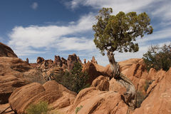 Tree at Arches National Park Royalty Free Stock Photo