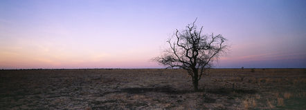 Tree in arid landscape. Panoramic view of a tree in arid landscape in northern queensland australia Royalty Free Stock Photos