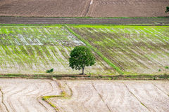 Tree arid solitary on rice field Stock Photography