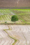 Tree arid solitary on rice field Royalty Free Stock Photos