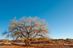 Tree in Arizona desert Stock Photo
