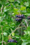 A green branch of aronia with berries in the summer garden. Organic food royalty free stock photo