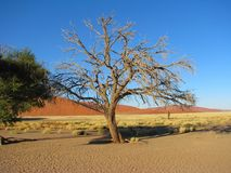 Tree around Dune 45 in Sossusvlei, Namibia. Tree around Dune 45 in Sossusvlei, Namib-Naukluft National Park of Namibia Stock Photo