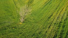 Tree as point of interest on green grass field. Aerial view of tree as point of interest on green grass field, 4K drone footage stock video