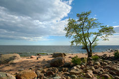 Tree ashore. Tree on sandy coast of gulf of Finland Royalty Free Stock Images