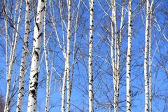 Tree. Asian White Birch is beautiful Stock Images