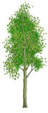 Tree an aspen. With green leaves in the summer. Figure on a white background Royalty Free Stock Images