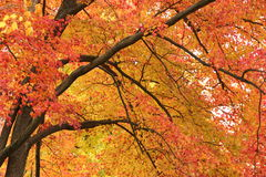 Tree in autmn. Colorfuf leaves and tree in autumn Royalty Free Stock Photo