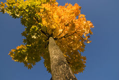 Tree in autum. With colored leaves Stock Image