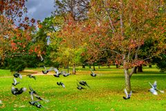Pigeons and trees in Autumn stock photos