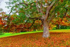 Tree surrounded with fallen leaves in Autumn royalty free stock photos