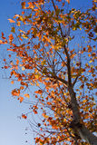 Tree In Autumn. A tree in autumn shot against a blue sky Royalty Free Stock Photography