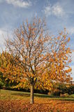 Tree in autumn. Tree with falling leaves in autumn Royalty Free Stock Photos